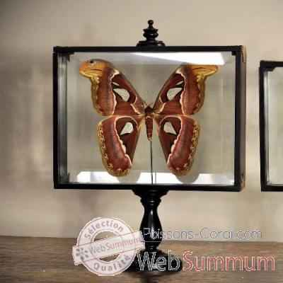 Attacus atlas Objet de Curiosite -IN046