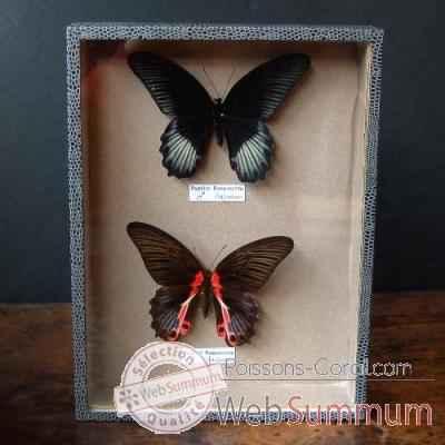 boite 2 papillons objet de curiosit in032 dans insectes sur poissons corail. Black Bedroom Furniture Sets. Home Design Ideas