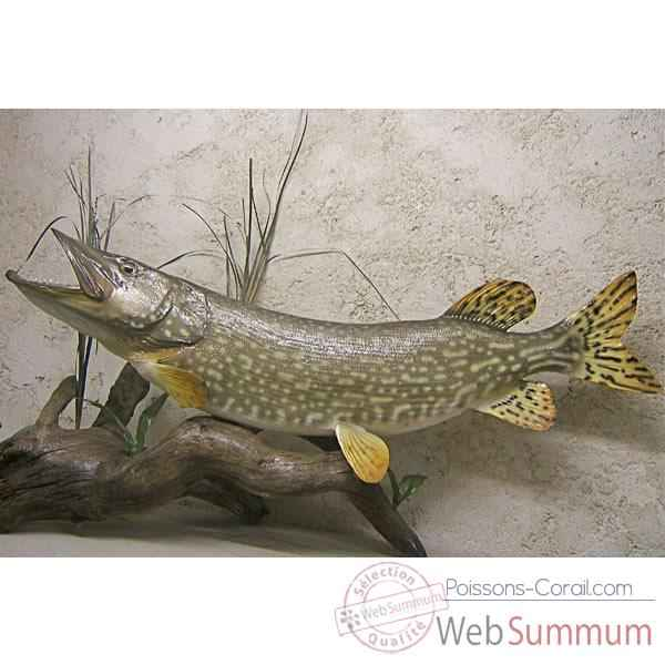 Video Trophee poisson d'eau douce Cap Vert Brochet -TR05